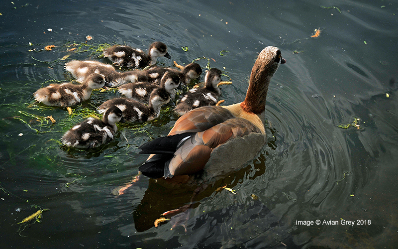 More from the Goslings