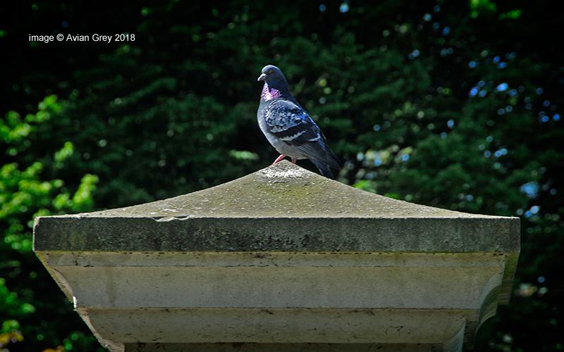 Pigeon Proud