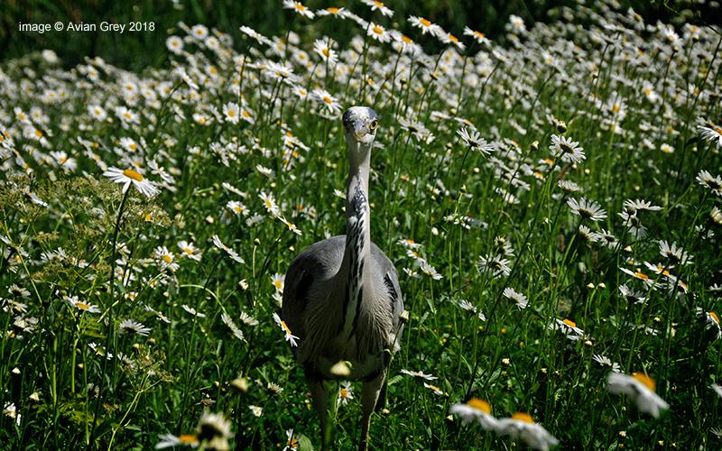 Springtime Heron