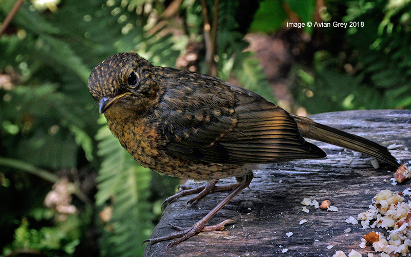 Young Robin  1/2