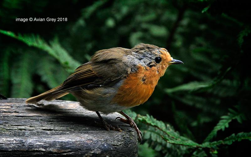 Robins, Robins . .