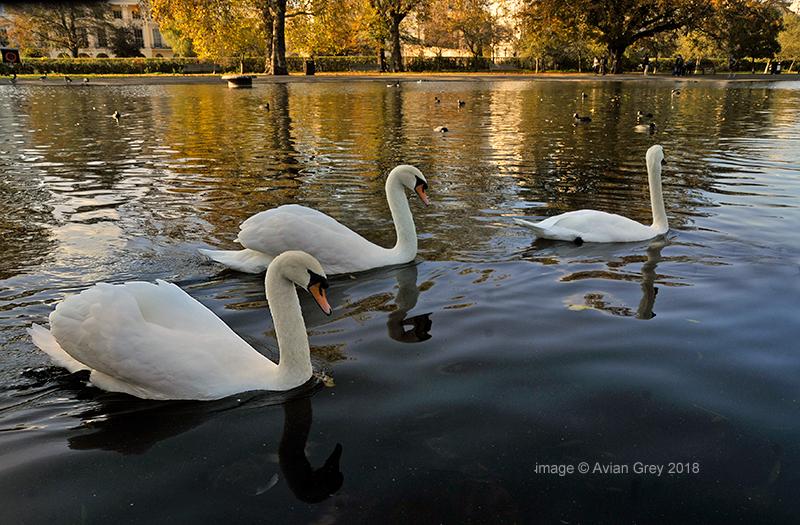 Swanning Around . .