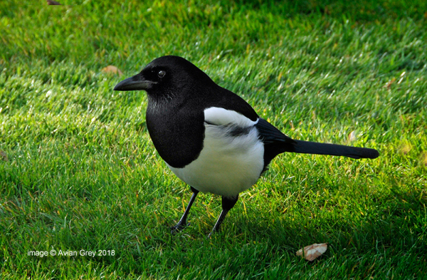 Magpie  Twin