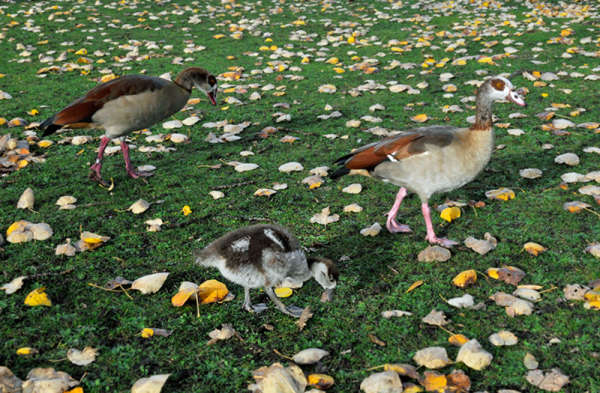 Egyptian Goose Gosling  1/2