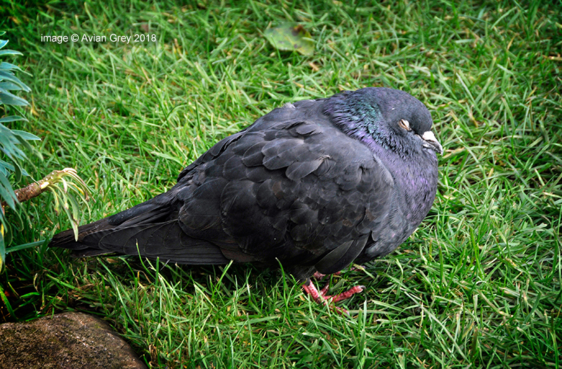 Senior Pigeon