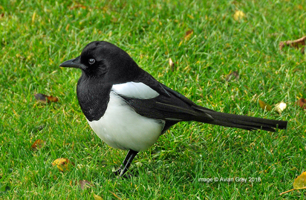 Another Magpie . .