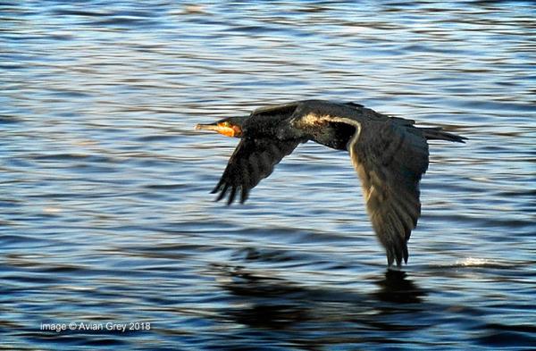 Cormorant Passing