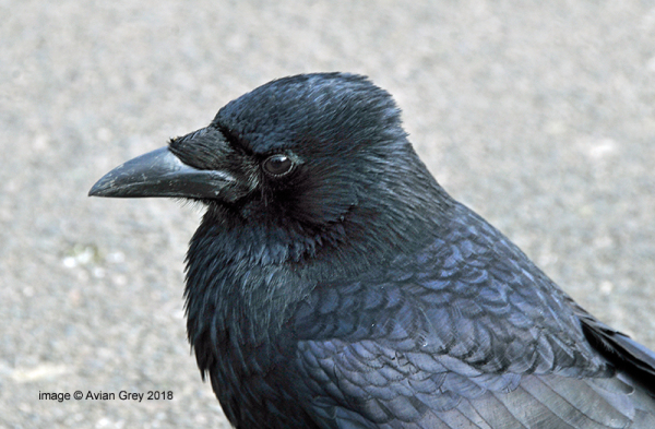 December Crow