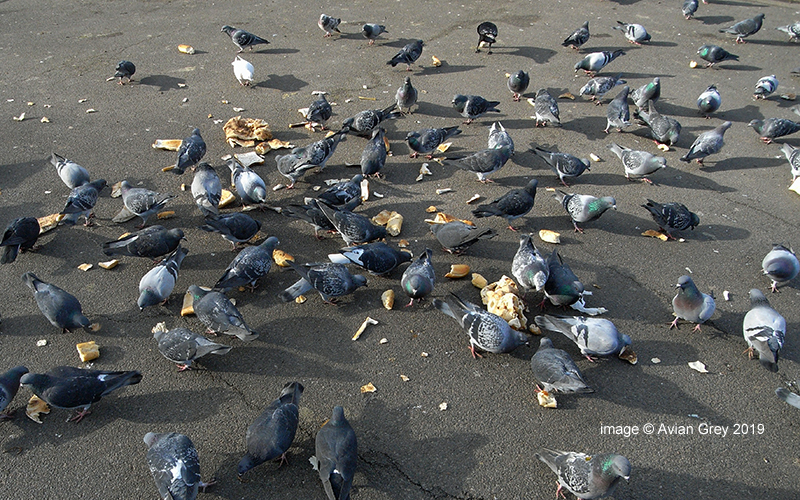 More Pigeon Chaos