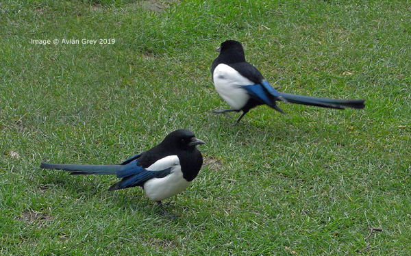 Magpies Two