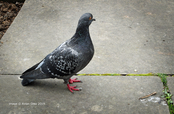 Never Underestimate a Pigeon