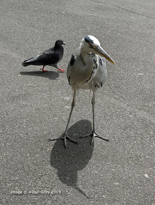 Heron Shaddowed !