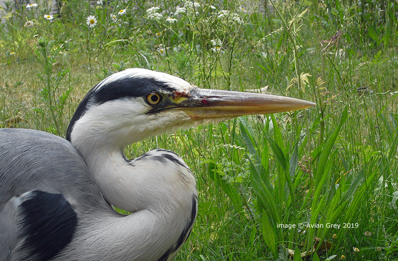 Hungrey Heron