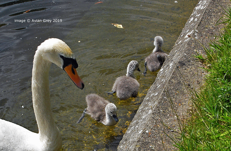 More from the Cygnets . .