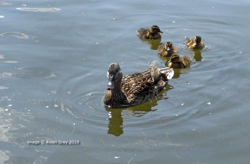 Ducklings, Duckings . .