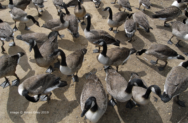 Canada Geese 1/3