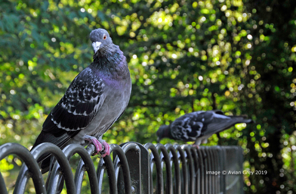 Weekend Pigeon