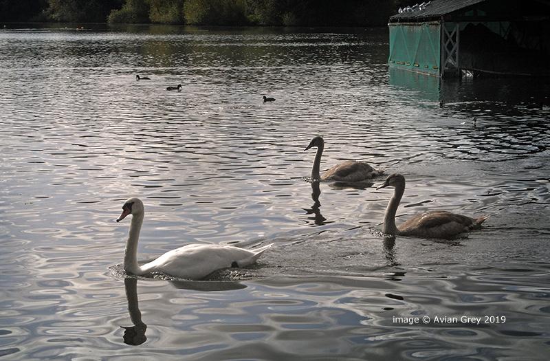 Swans Passing