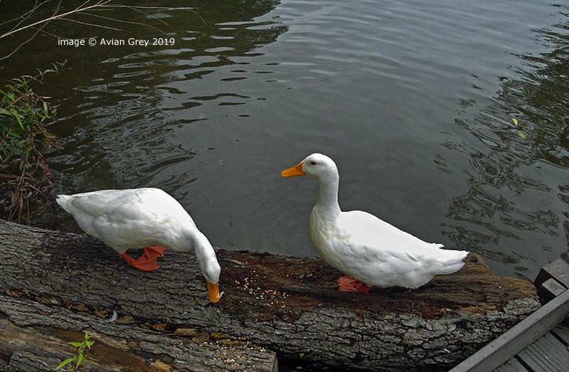 White Ducks