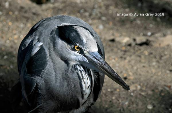 Elderly Heron
