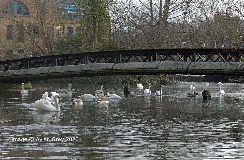 Swans, Swans, Swans . .