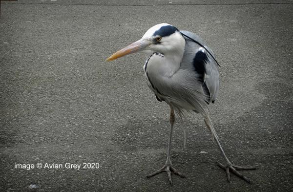 Heron Week . .