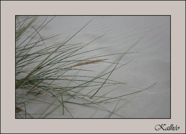 Herbe de dune