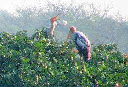 Shot at Vedanthangal Bird Sanctuary