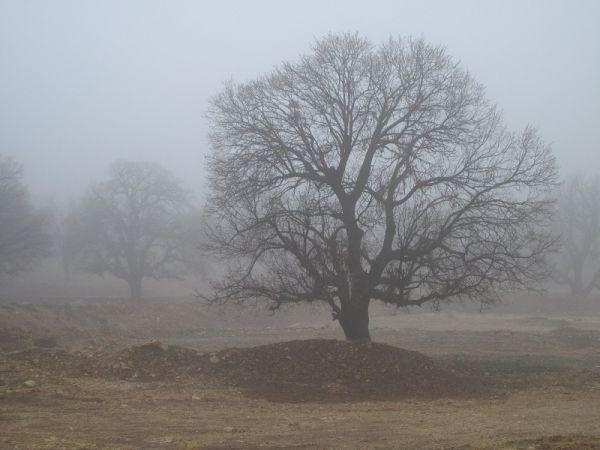جنگل بلوط مه آلود