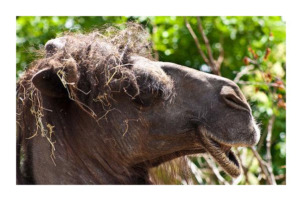 Eccentric Camel