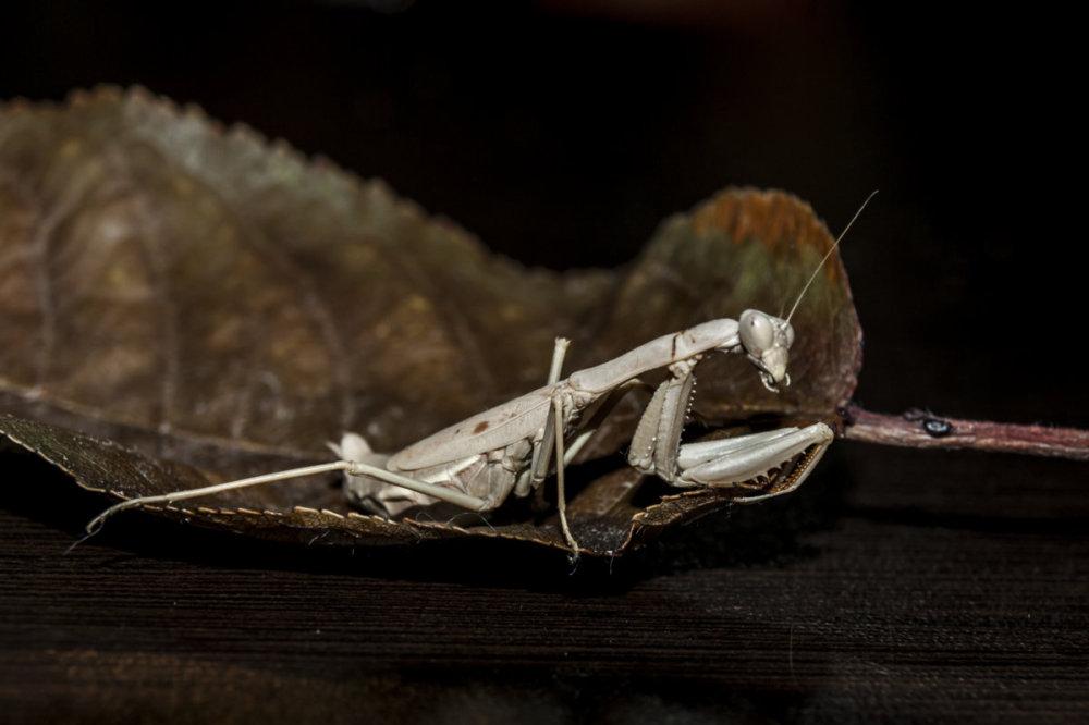 Mantis...lll