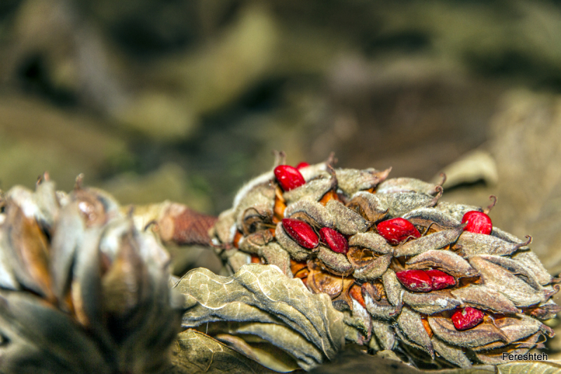 Pine seed...