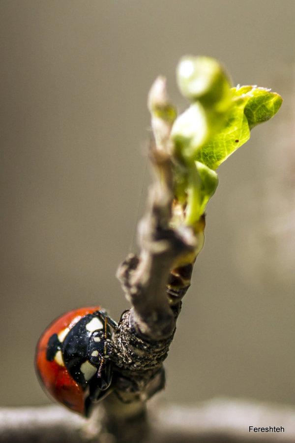 Spring & Ladybirds  lll