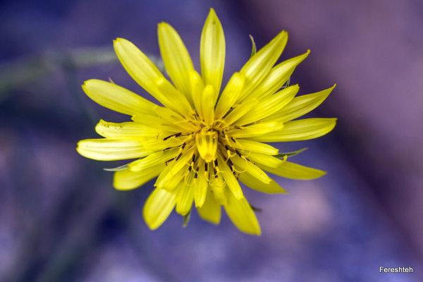 Yellow   lll