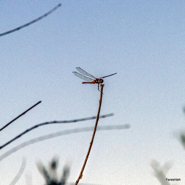 Dragonfly lll