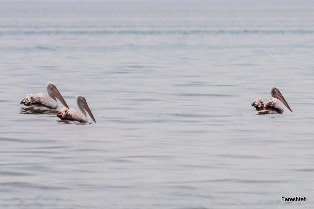 Pelicans  :)