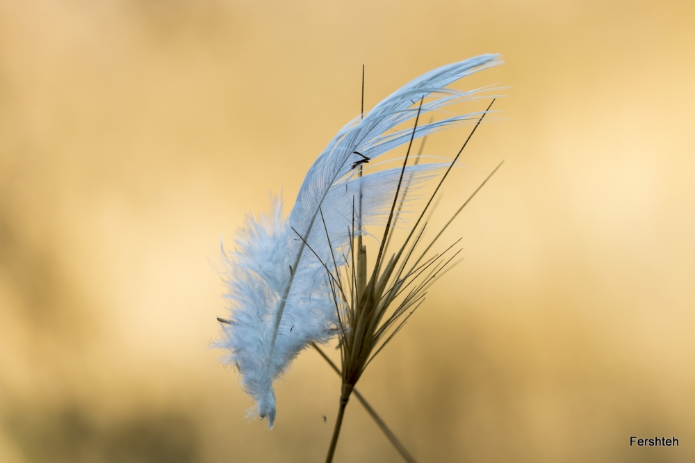 Angel's wing