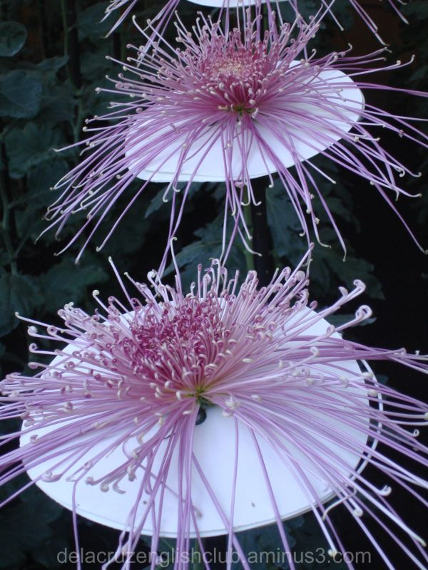 Chrysanthemum, national flower , mums, chrysanths