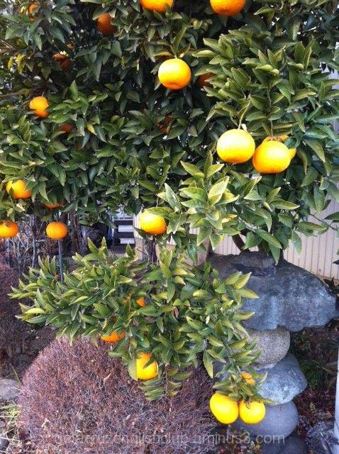Mandarin Orange, ponkan, Citrus sinensis