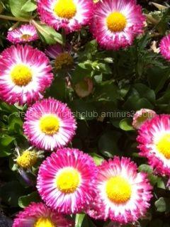 Spring Flower, Flower Variation