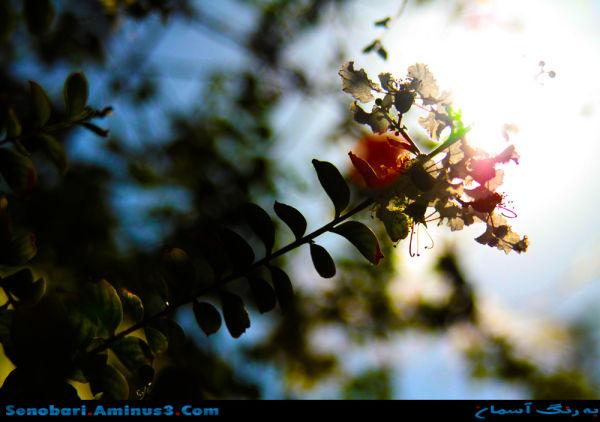 flower  sun گل خورشید
