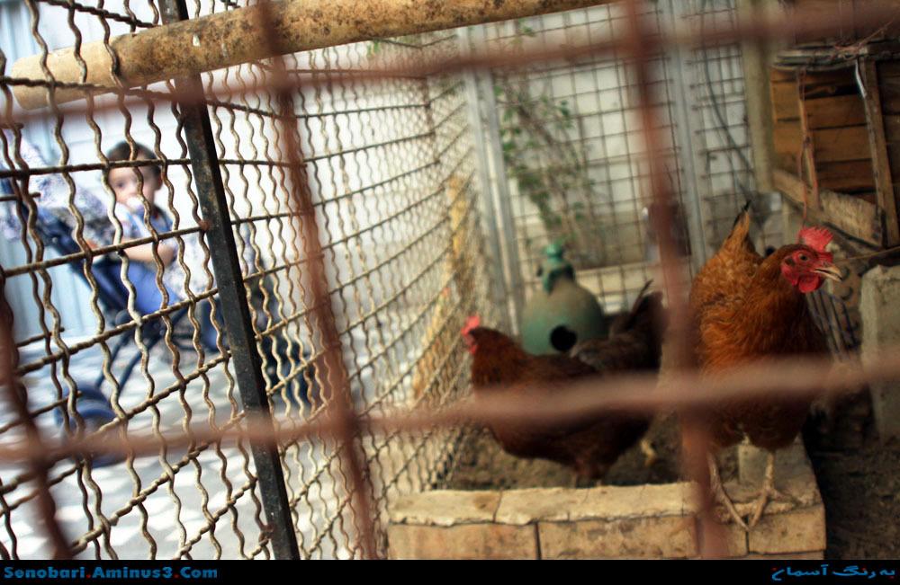 مرغ خانگی