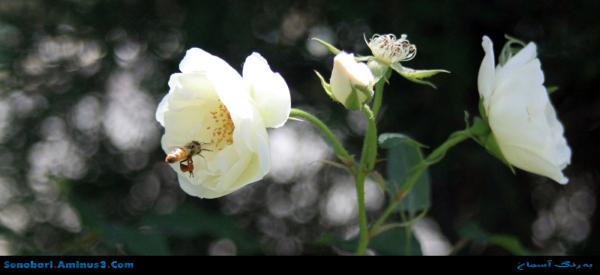 گل و زنبور
