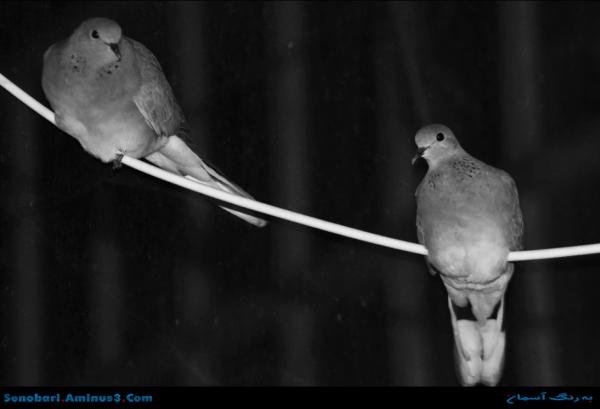 دو کبوتر