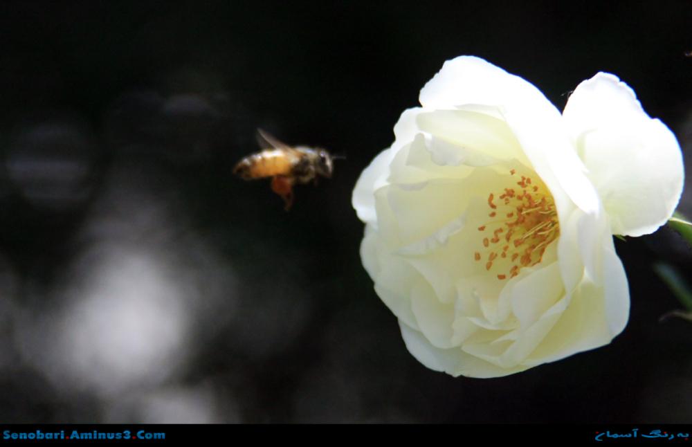 گل در کمین زنبور