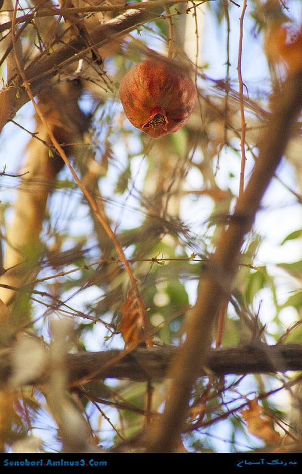 Pomegranate انار بر درخت