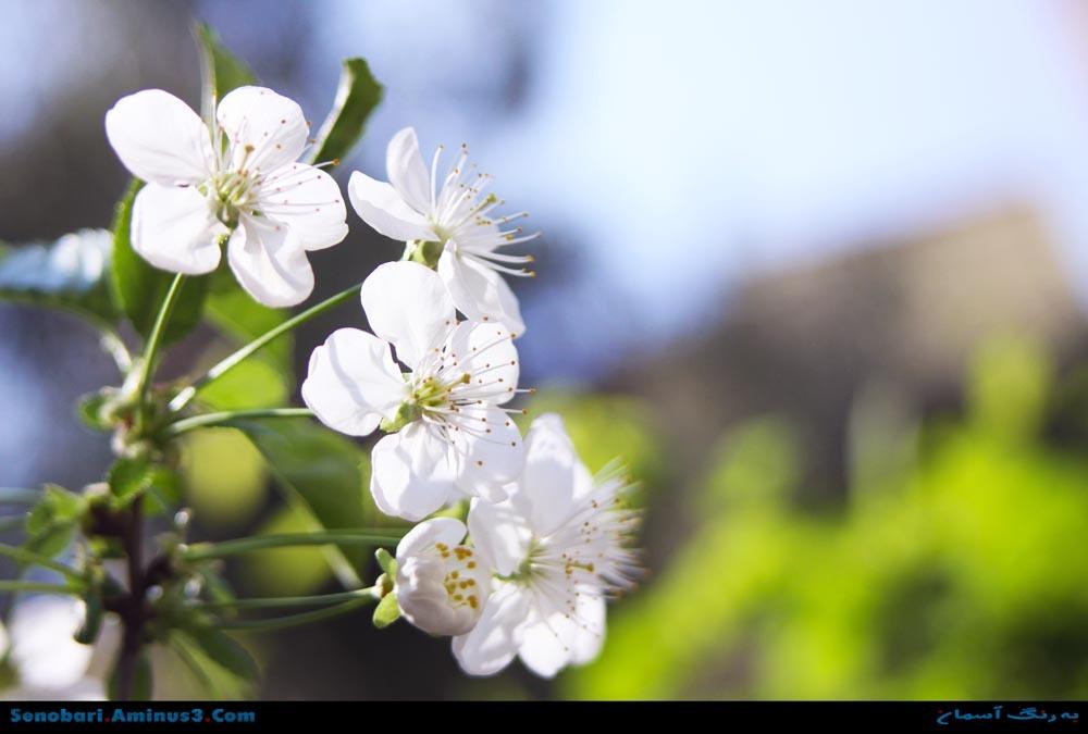 spring شکوفه بهاری