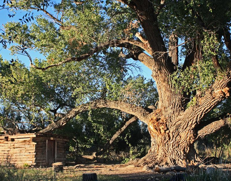 OLD TREE - SAN PEDRO RIPARIAN
