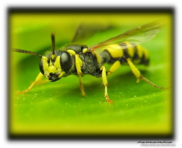 Golden wasp sting-Golden Bee-Bee-