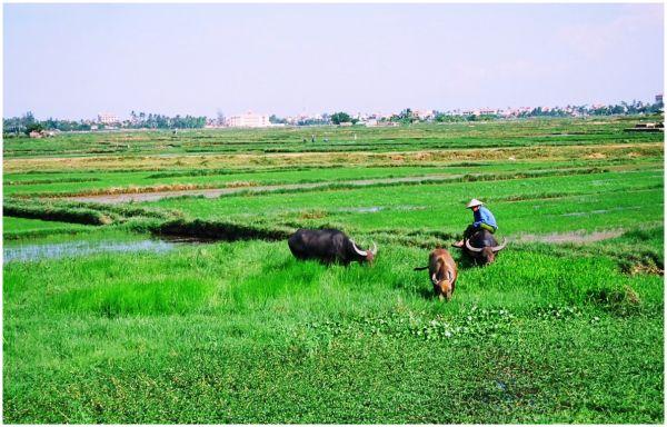 Rice Paddies, Hoi An